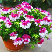 20Pcs Rare Geranium Flower Seeds Rose Pelargonium peltatum Hardy Plant Perennial