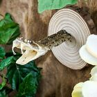Y51c Taxidermy Oddities Curiosities Rattlesnake Snake Head hanging collectible