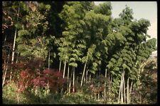 145070 Bamboo Grove In Tenryuji Temples Garden A4 Photo Print