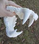 Ti-liger lion tiger death cast jaws teeth cast taxidermy plastic replica