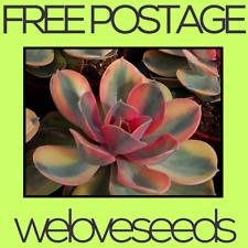 LOCAL AUSSIE STOCK - Echeveria Rainbow, Cactus Seeds ~5x FREE SHIPPING