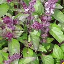 1 Oz Cinnamon Basil Herb Seeds - Everwilde Farms Mylar Seed Packet