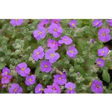 "woo-wall  ""Aubrieta cultorum"" evergreen 40 seeds *DIY [ZZ69]"