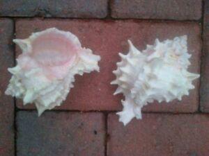 SET OF 2 Real Seashell Rose Murex Conch Shell 8cm long Large Sea Snail Sea Shell