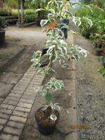Cornus kousa Peve Sammy - Japanischer Blumenhartriegel Peve Sammy