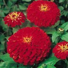 NEW! 35+ CHERRY QUEEN  ZINNIA ELEGANS FLOWER SEEDS / ANNUAL