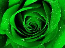 Rose Flower seed - Green Rose seeds - Pack of 10 seeds
