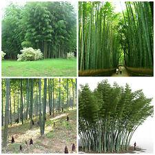 "50 semi di Phyllostachys edulis = moso bamboo, Bambos moosoo ""Bambù gigante"""