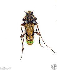 Cerambycidae sp (12mm) - Crocker Range, Trus Madi, Sabah (C24-8) - Uncommon