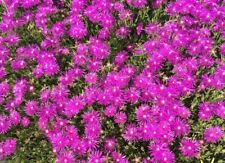 Mittagsblume Ableger Delosperma Winterhart Lila Bodendecker Blumen
