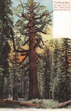 YOSEMITE~MARIPOSA GROVE CALIFORNIA~GRIZZLY GIANT~BIGGEST IN THE WORLD POSTCARD