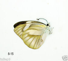 Appias libythea olferna (f) - Cameron Highlands, Malaysia 8-15 (AO)