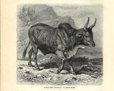 Stampa antica TORO AFRICANO Bos africanus BULL 1891 Old antique print