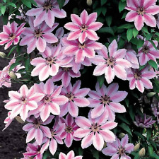 Clematis 'Nelly Moser' Hardy Climber Plant Colourful Flowering Shrub | 9cm Pot