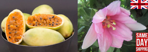 Edible Banana Passion Fruit (Passiflora Mollissima) - 10 Seeds Same Day Dispatch