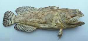 Solor jawfish Opistognathus solorensis Fish Taxidermy Oddities Curios