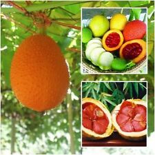 30 Seeds Gac Fruit Seeds Momordica Cochinchinensis Spreng/Cochinchin Gourd