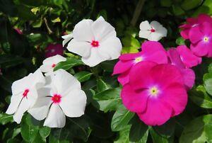 Seeds Cape Madagascar Periwinkle Mix Vinca Rosea Flower Balcony Perenial Ukraine
