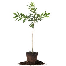 Sawtooth Oak Tree, Live Plant, Size: 3-4 ft.