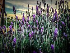 Certified Organic Spanish Lavender Seeds (~100): Non-GMO Organic Heirloom Packet