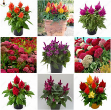 300 Pcs Seeds Flamingo Cockscomb Bonsai Flowers Plants Celosia Cristata Garden N
