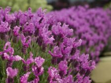 8 Lavandula stoechas 'Bandera Purple' Spanish Lavender Mini Plugs for potting on