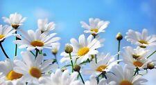 200 Graines de Marguerite Méthode BIO seeds plantes fleurs vivace