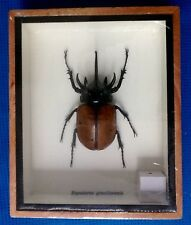 1 REAL EXOTIC HUGH 5 HORN RHINO BEETLE EUPATORUS GRACILICORNIS TAXIDERMY INSECT