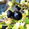 Wunderbeere Solanum x burbankii blaue süße Beere, Zimmer, Topf Färben lila Stoff