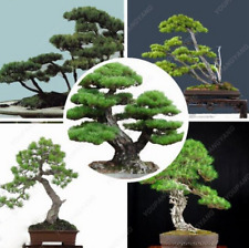 50 Pcs Seeds Blue Spruce Plants Picea Tree Potted Bonsai Garden Free Shipping N