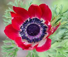 ANEMONE RED Anemone Multifida Rubra - 100 Bulk Seeds