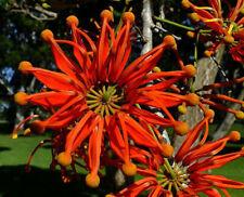 Feuerradbaum exotische Pflanzen für die Wohnung drinnen Zimmerpflanze // Samen