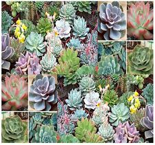 (20) Desert Rose Mix - Echeveria Species SUCCULENT Mix - Comb. S&H