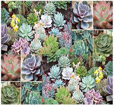 (20) Desert Rose Mix - Echeveria Species SUCCULENT Mix - Comb. S&H
