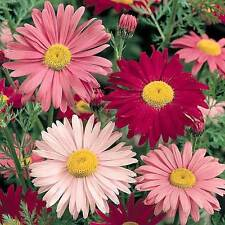 500 Robinson Painted Daisy Seeds, Flower + Free Gift
