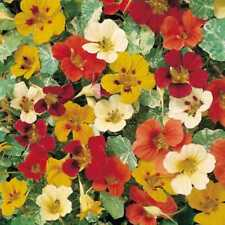 NASTURTIUM CLIMBING - JEWEL OF AFRICA - 125 FINEST SEEDS