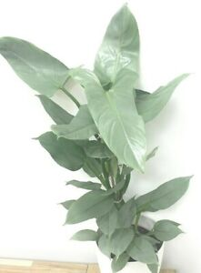 Rare Philodendron Aroid SILVER SWORD Metallic Houseplant BABY plant Well Rooted