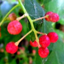 Roter Pfeffer, Szechuanpfeffer(Zanthoxylum piperitum) winterhart, Baum ,