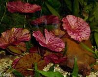 RED Zenkeri Tiger Lotus Nymphaea bulb live aquarium plant tropical fish fry hide