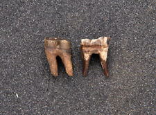 Rare Pair of Early Miocene Anchippus Teeth Florida Fossils