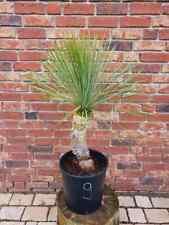 Yucca Linearifolia Nr. 9 ( No Rostrata )