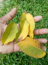 Natural Organic Home made Dried Guava Leaves & Powder Ceylon
