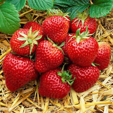 3 MIXED STRAWBERRIES 'FRAGARIA' GROWING HEALTHY GARDEN FRUIT HARDY PLANT IN POT