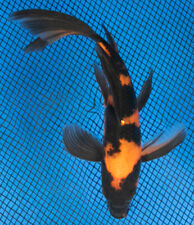 "New listing 6"" Butterfly Hi Utsuri Live Koi Fish Pond Garden Bkd"