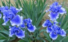 """Tall Bearded """"Money In Your Pocket"""" Iris - Top Notch '07 * Perennial * Plant"""