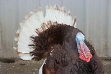 8+ Bourbon Red Turkey Fertile Hatching Eggs