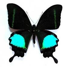 PAPILIO PARIS TENGGERENSIS - unmounted butterfly