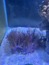 Big Coral Colonie