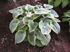 Hosta Tokudama Flavocircinalis seeds - 20 seeds
