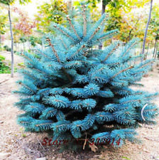 i gelo duro ornamentali ALBERO sementi BONSAI SEMI inverno i BLU stechfichte
